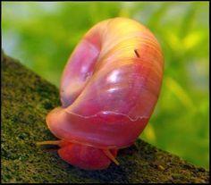 Ramshorn Snail .:. Planorbis rubrum .:. Freshwater Aquarium Snail Species Information Page                                                                                                                                                                                 More