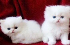 Teacup Persian Kittens, Teacup Kitten, Persian Kittens For Sale, Kitten For Sale, Pets For Sale, Cute Kittens, Cats And Kittens, Happy Animals, Cute Animals
