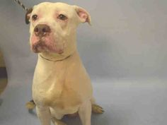 PULLED BY ALL BREED RESCUE VERMONT - 01/17/16 - TO BE DESTROYED - 01/17/16 - RYDER - #A1062715 - Urgent Brooklyn - MALE WHITE/BROWN AM PIT BULL TER MIX, 1 Yr - STRAY - NO HOLD Intake 01/11/16 Due Out 01/14/16