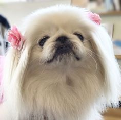 Yorkies, Pekingese Puppies, Puppies And Kitties, Cute Puppies, Cute Dogs, Animals And Pets, Baby Animals, Cute Animals, Feel Good Pictures