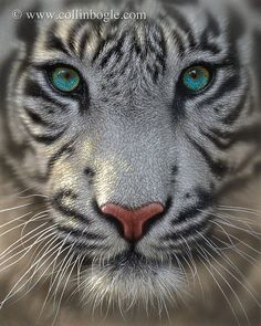 white tiger with blue eyes | White Tiger