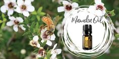 The Buzz About Manuka Oil - Myth or Miracle? Article by Claire Galea Manuka Oil, Doterra, Essential Oils, Perfume Bottles, Table Decorations, Christmas Ornaments, Holiday Decor, Facts, Writing