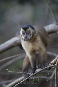 Doesn't look too happy but it's a normal expression. Primates, Mammals, Magnificent Beasts, Pet Monkey, Monkeys, Ark, Brazil, Safari, Pets