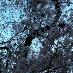 Sakura in Inokashira park