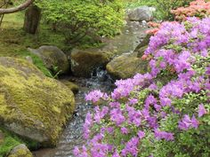 Arboretum Seattle   ... blooming near the stream in the Seattle Japanese Garden in mid May