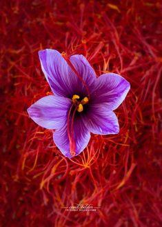 Saffron Seeds, Saffron Spice, Saffron Crocus, Saffron Flower, Beautiful Flower Quotes, Beautiful Flowers, Spice Logo, Saffron Benefits, Balcony Herb Gardens