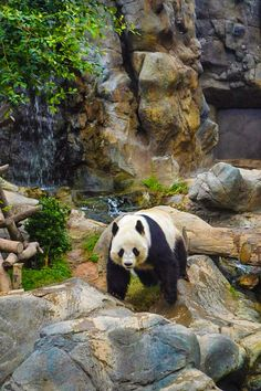 Panda at Ocean Park, Hong Kong