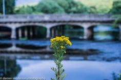 Weeds at Apperley Bridge