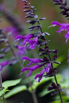 Salvia Amistad. Look fabulous in a pot with anything from the lime green family