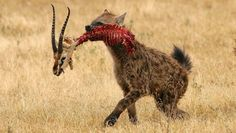 A spotted hyena is carrying the remains of Thompson Gazelle prey. Hyenas can devour all parts of the prey, little evidence remains of their actual meals.