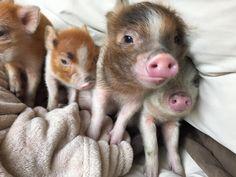 Mini-Pigs! : Photo