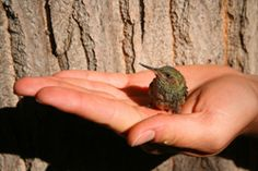Hummingbird in Hand Learn how to increase your knowledge and appreciation of hummingbirds. Learn all about them including how to care for them, hummingbird species, nesting, and more