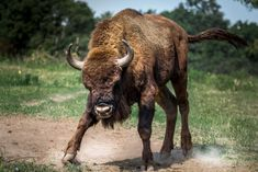 Venture to Poland to find European Bison in the wild. Enjoy a safari though the Białowieża Forest as you look for herds of Bison against luciously green backdrop. Romania Facts, European Bison, Les Aliens, Especie Animal, Dances With Wolves, Tech Stocks, National Animal, Bullen, Funny Animals