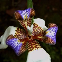 orchid, san vito  WOW - extremely exotic - love the purple with the white, brown and golden yellow, Charmaine Zoe