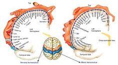 homunculus brain - Google Search