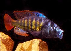 A Lake Victoria African Cichlid.