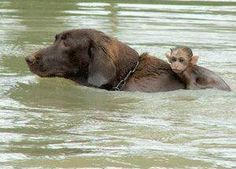 """The Hero Life Saver."" ~ During Floods in Thailand, A Reporter Captured This Special Photograph ~ A Dog Rescuing An Infant Monkey."