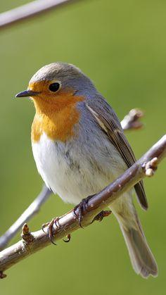 European robin: Erithacus rubecula Kızılgerdan / Nar Bülbülü