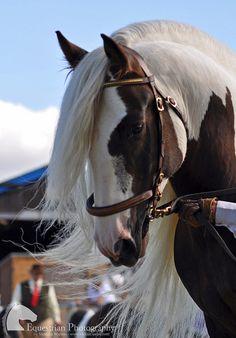 Gypsy cob stallion - So so beautiful. Most Beautiful Animals, Beautiful Horses, Beautiful Creatures, Majestic Horse, Majestic Animals, Zebras, Cheval Pie, Gypsy Horse, All The Pretty Horses