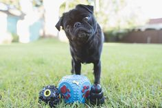 Your pug's mental health is just as important as their physical health. Check out these 5 enrichment activities to keep your pug's mind healthy. Pug Pictures, Animal Pictures, Funny Pug Videos, Pug Gifs, Dog Gadgets, Doug The Pug, Enrichment Activities, Dog Anxiety, Pug Puppies