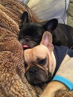 French bulldog❤️❤️