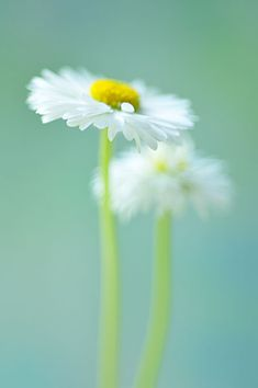 daisies by alexedg