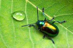 Leaf Beetle, Beetle Bug, Beetle Insect, Wild Photography, Insect Photography, Insect Orders, Beetle Tattoo, Pictures Of Insects, Cool Bugs