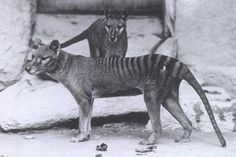 The Thylacine. circa 1906.  Photo taken at Hobart Zoo, Tasmania.  Now extinct. The Thylacine (aka Tasmanian Tiger or Tasmanian Wolf) was a carnivorous marsupial. The last one seen was in 1933.  It is now extinct.