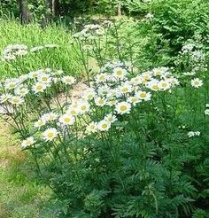 Pase Seeds - Tanacetum Matricaria Types Corymbosum Perennial Seeds, $3.49 (http://www.paseseeds.com/tanacetum-matricaria-types-corymbosum-perennial-seeds/)