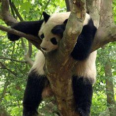 Pandas sleep a lot but they don't hibernate.