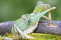 lizard strumming leaf3