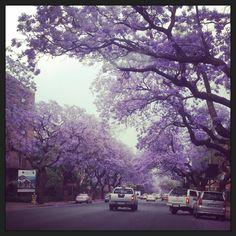 Jacaranda City. #Pretoria #jacarandas #JacarandaCity #purplehaze Pretoria, Purple Haze, Lions, South Africa, Things To Do, City, Outdoor, Instagram, Jacaranda Trees