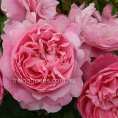 Mary Rose :- Excellent habit of growth, flowers repeatedly. To be planted around the chook yard.