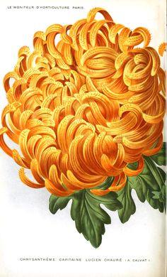 Botanical - Flower - Chrysanthemum, orange -- LOADS of FREE Printables on this site! Vintage Botanical Prints, Botanical Drawings, Vintage Prints, Botanical Flowers, Botanical Art, Flower Images, Flower Art, Horticulture, Illustrations Vintage