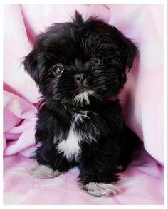 Teacup Shih Tzu puppy...holy precious! He looks like a little Barley :)