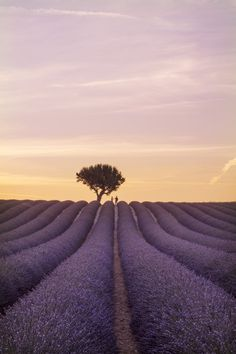 Provence lavender fields are the most beautiful in France. This guide lists where and when to visit the lavender fields of Provence from Valensole to Sault. France Photography, Photography Guide, Landscape Photography, Travel Photography, Best Vacation Destinations, Best Vacations, Visit France, South Of France, Lavender Fields France