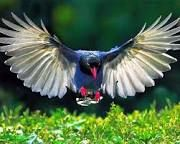 Image result for Taiwan blue magpie