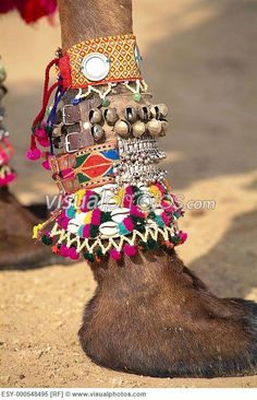 Close up of hooves of camel in camel decoration completion , Desert Festival , Jaisalmer , Rajasthan , India
