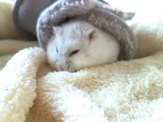Dwarfhamster sleeping, winter