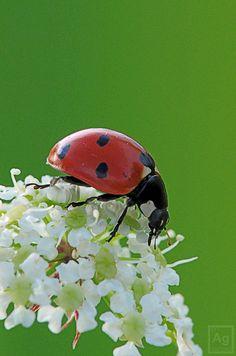Ladybug (Coccinellidae) | Flickr - Photo Sharing!