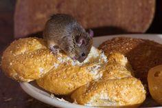De vele gevaren van een muizenplaag