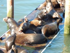 The wonders of the Pacific Ocean, the sea lions pictured here sitting on the dock in Newport, Oregon. A sight to be seen and enjoyed! Crater Lake National Park, National Parks, Pacific Ocean, Pacific Northwest, Newport Oregon, Lion Pictures, Sea Lions, Oregon Trail, Tours