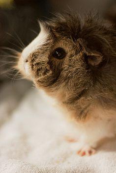 darling, fluffy guinea pig!