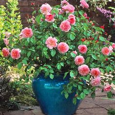 'Anne Boleyn' is exceptionally free-flowering, with large sprays of pink flowers; David Austin Roses.