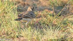 Dusky Lark, Donkerlewerik, (Pinarocorys nigricans) - Roodeplaat Nature Reserve http://birdwatcher.co.za/dusky-lark-donkerlewerik-pinarocorys-nigricans-roodeplaat-nature-reserve/ #BirdwatcherSA #birdingsouthafrica #birdingphoto #birdingphotos #birdssouthafrica #birdsofsouthafrica