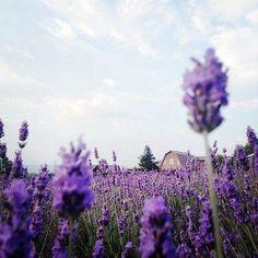 @ Hokkaido lavender field