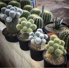 Beautiful Cactus Succulents For Home Decoration 13 Succulent Gardening, Cacti And Succulents, Planting Succulents, Cactus Plants, Planting Flowers, Potted Plants, Cactus Pot, Cactus Flower, Mini Cactus Garden