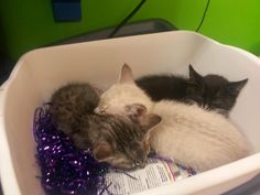 Gracie (front) and Ashes (back) join Jade (black kitty) in the toy bin. #rescue #adoptdontshop #kittens #kitty