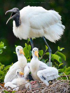 Wood stork family . All Birds, Birds Of Prey, Unique Animals, Animals And Pets, Stork Bird, Flightless Bird, Shorebirds, Bird Pictures, Bird Feathers