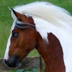 Pinto horse with white flowing mane and blue eyes.